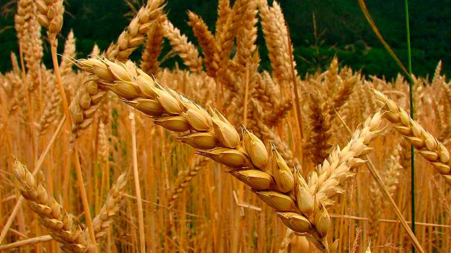 El genoma del trigo revela cómo fue domesticado para cultivo