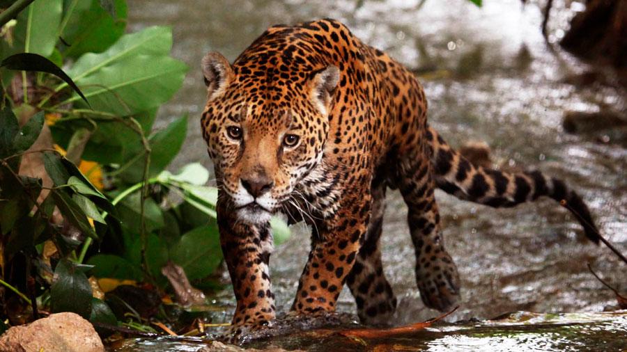 11-07-17-jaguar