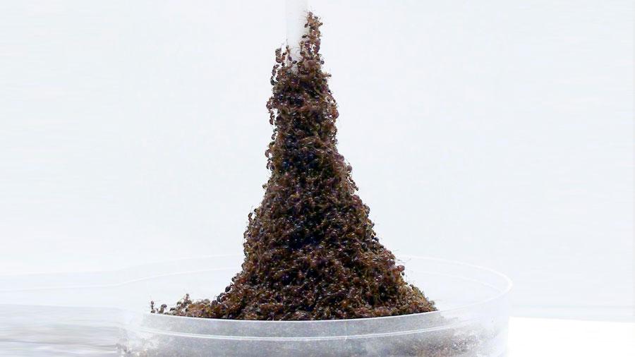 Las hormigas rojas construyen con sus cuerpos estructuras similares a la Torre Eiffel
