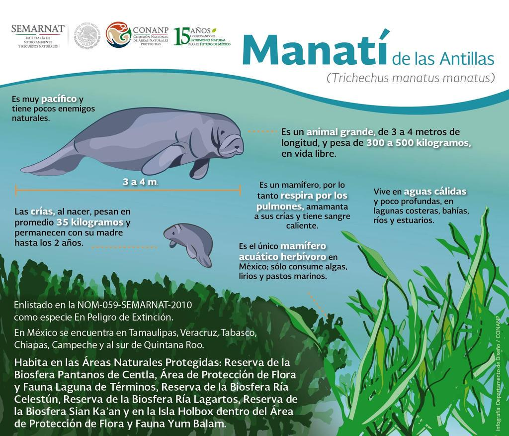 Manatí de las antillas