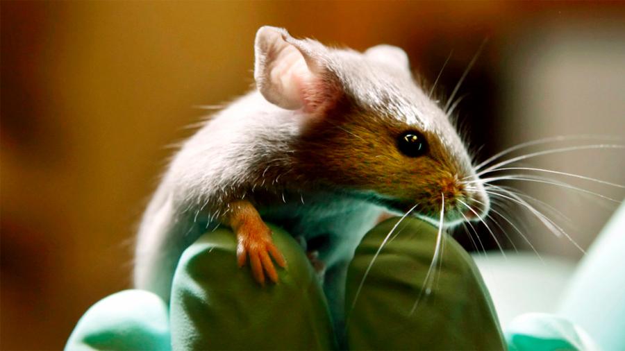 Describen las conexiones neuronales del procesamiento emocional en ratones