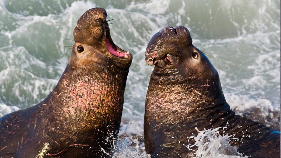 Los elefantes marinos se reconocen entre sí por el tono de voz