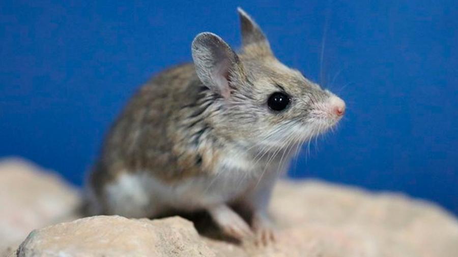 Una especie de ratón produce sonidos como los seres humanos