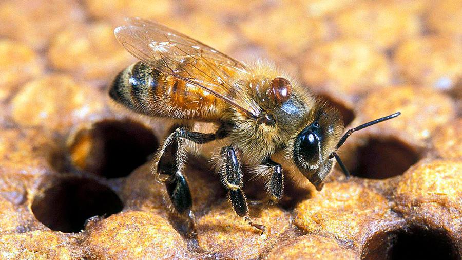 La miel de abejas sin aguijón tiene proteínas capaces de destruir bacterias que los antibióticos comunes no pueden combatir
