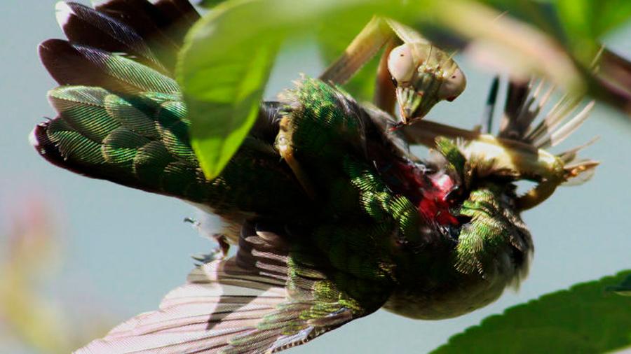 Las mantis religiosas son mucho más aterradoras de lo que creíamos