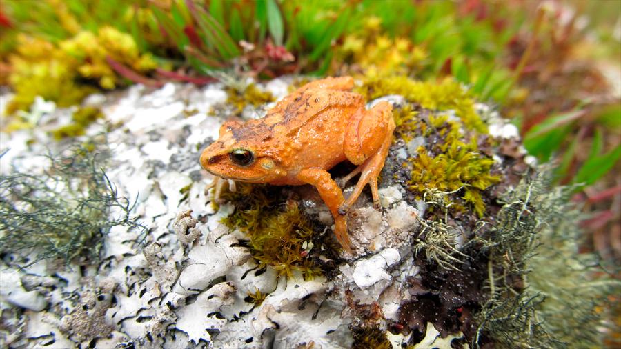 Descubiertas tres especies de diminutas ranas en los Andes peruanos