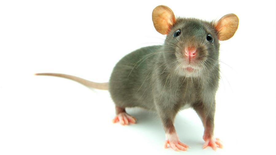 Descubren cómo convertir a los ratones en criaturas feroces
