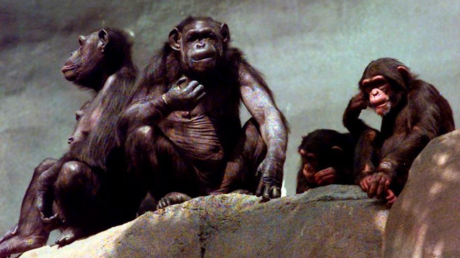 Aparecen por primera vez signos de Alzheimer en chimpancés