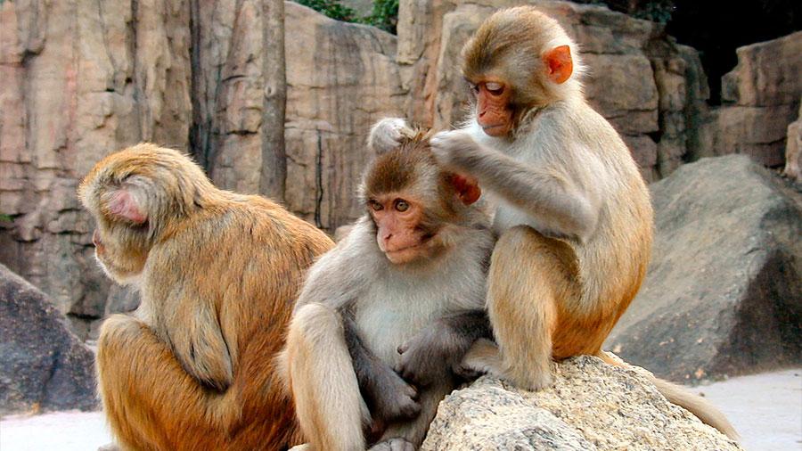 El virus Zika puede contagiarse entre los monos por vía oral