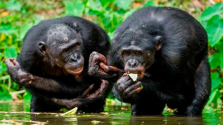 El ántrax, nueva amenaza para los chimpancés