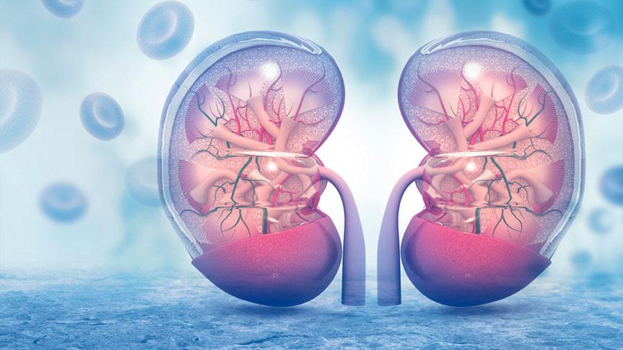 Descubierto el primer fármaco que actúa como protector del riñón