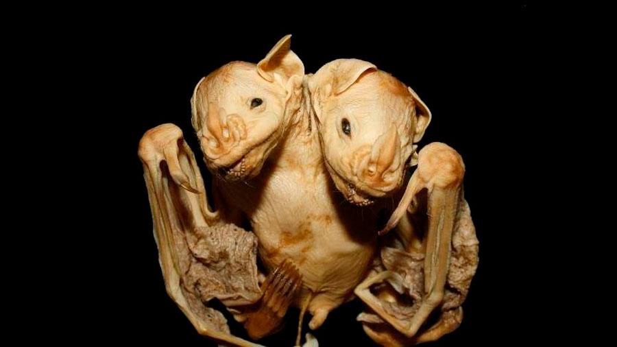 Hallan en Brasil dos murciélagos siameses unidos por el tronco