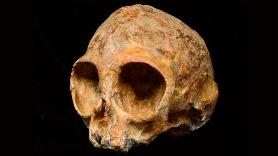 Un cráneo de 13 millones de años arroja luz sobre el antepasado común de monos y humanos