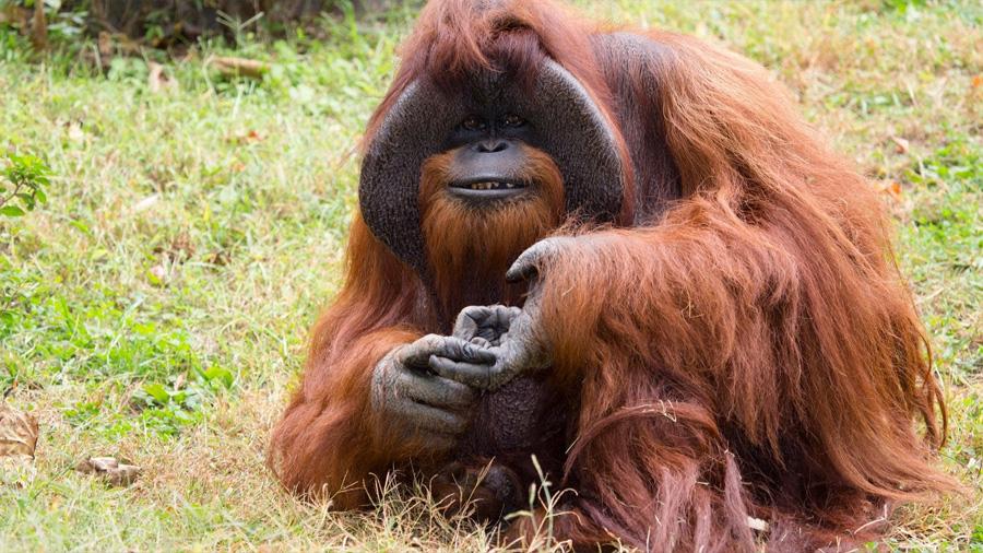 Muere Chantek, el famoso orangután que utilizaba lenguaje de señas para comunicarse