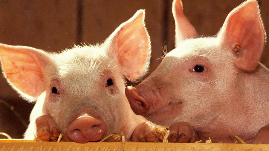 La edición genética de cerdos podría permitir trasplante de órganos a humanos