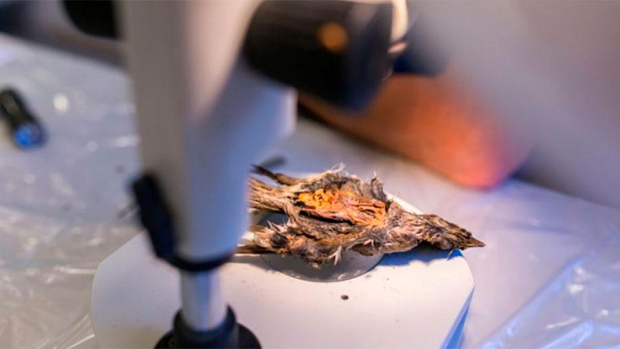 Descubren pájaro congelado después de 4,200 años
