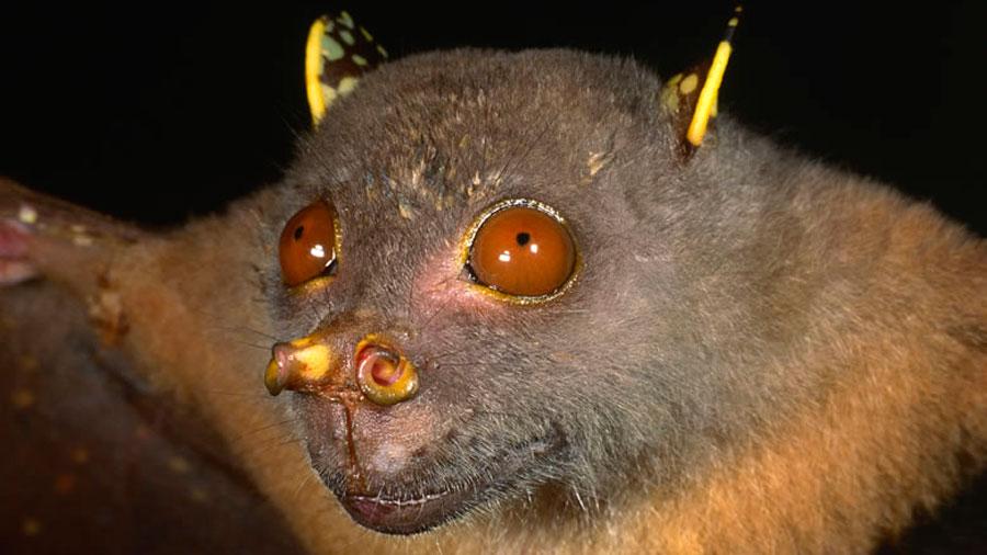 """Científicos nombran """"Yoda"""" a nueva especie de murciélago descubierto en Papúa Nueva Guinea"""