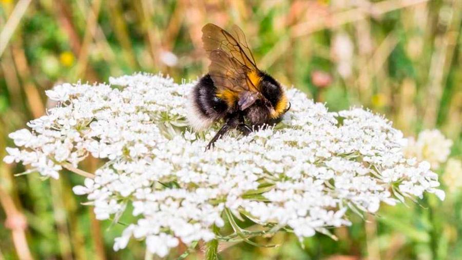 Los pesticidas impiden a los abejorros formar colonias