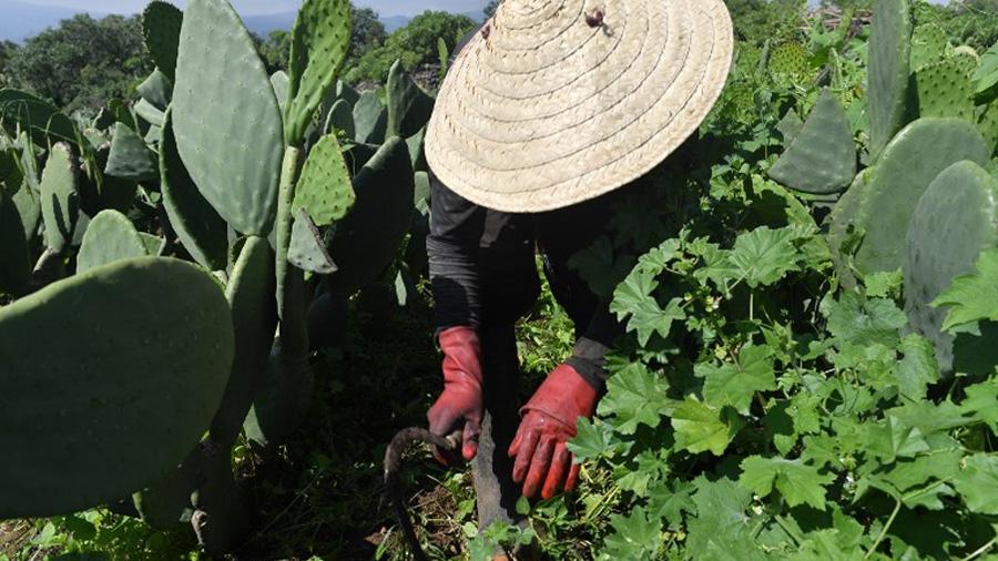 Nopal: el cactus que pasó de manjar a generador eléctrico
