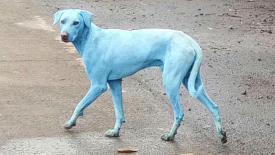¿Por qué los perros de Mumbai se están poniendo azules?