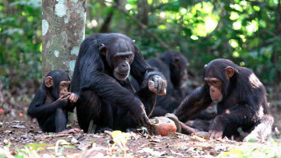 Los chimpancés tienen expectativas en sus relaciones sociales y se decepcionan ante situaciones adversas