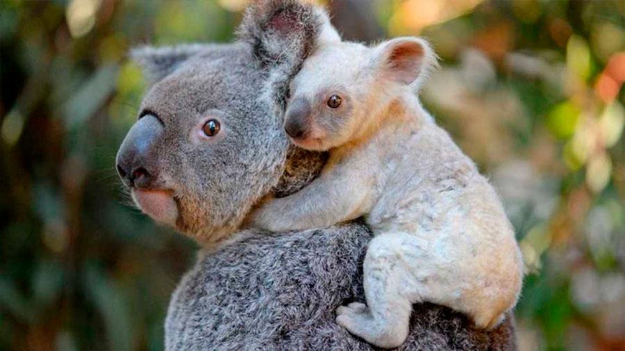 Nace una koala blanca en un zoo de Australia