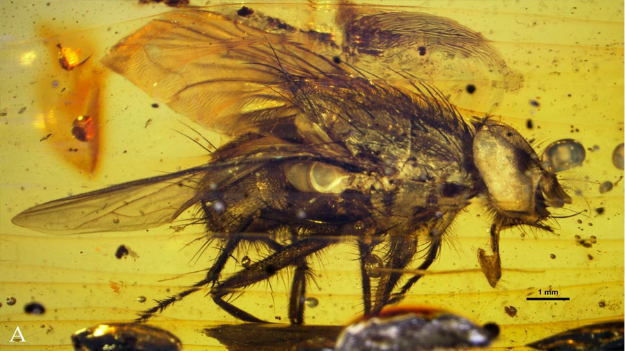 El fósil de una mosca arroja luz sobre su explosión durante el Cenozoico