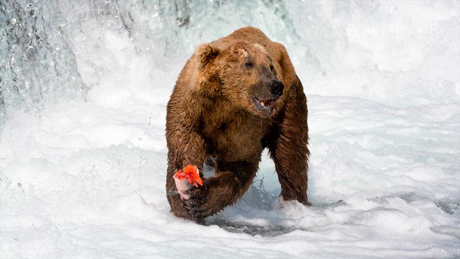 Los osos Kodiak de Alaska están abandonando sus icónicas fuentes de salmón por culpa del cambio climático