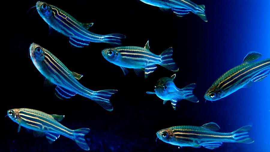 Destaca científico chileno en Harvard por hallar cómo un animal responde a una corriente de agua en la oscuridad
