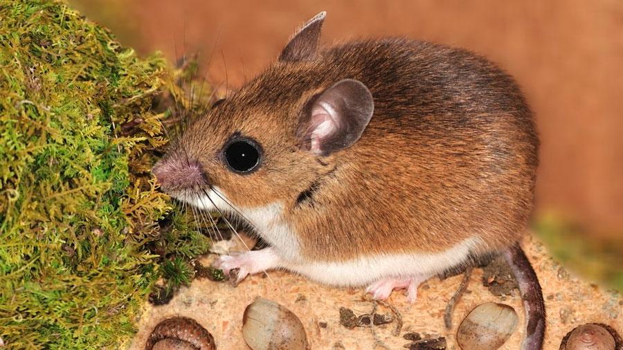Los machos de los mamíferos también determinan el sexo de sus crías