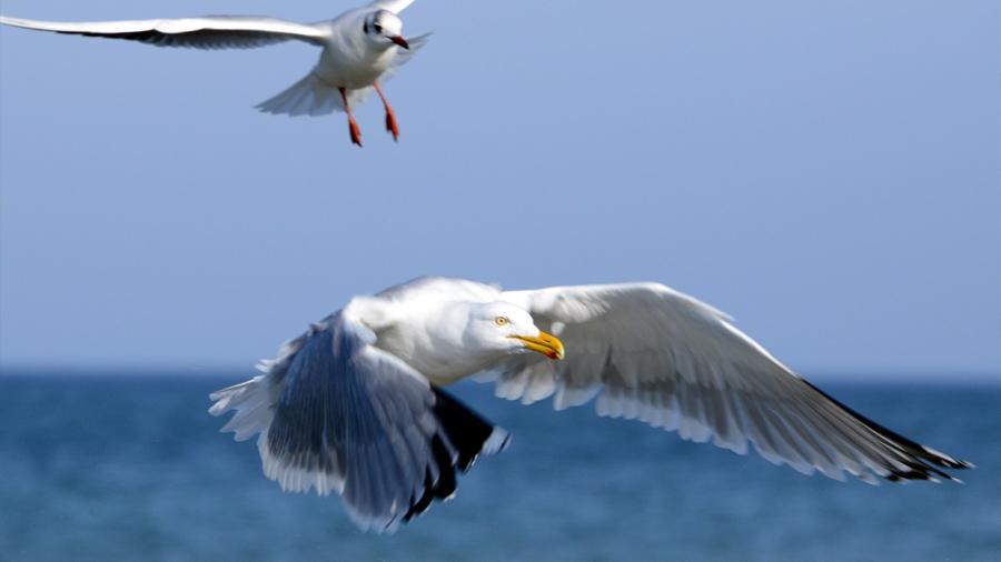 Nuevo estudio confirma que el olfato es clave en la orientación de las aves marinas