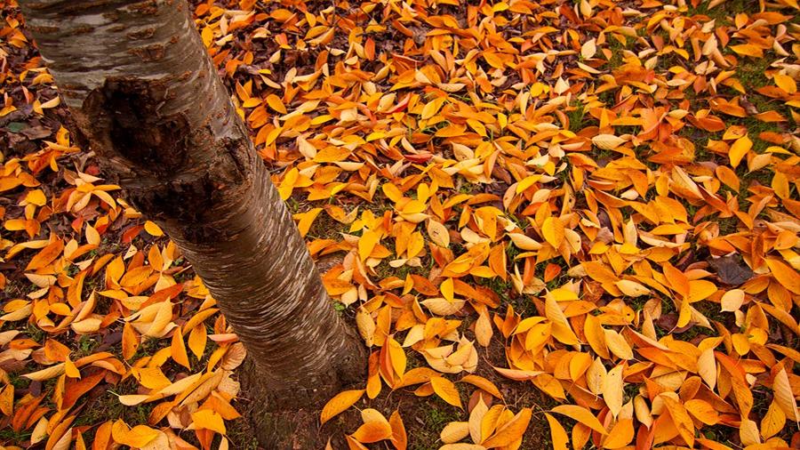 Hojas caídas de los árboles sirven de materia prima para supercondensadores