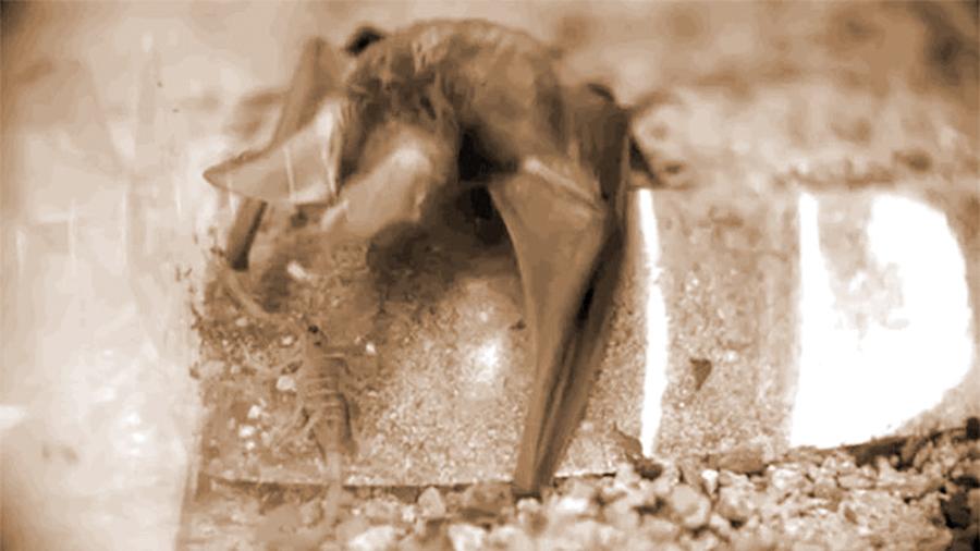 Este murciélago se ha especializado en cazar al escorpión más letal de EU: su secreto está en la sangre