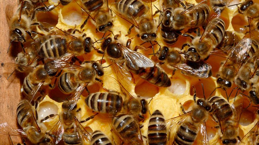 Descubren el porqué una abeja obrera no puede convertirse en reina