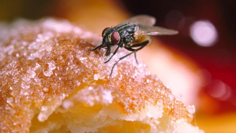 La asquerosa variedad de microorganismos que una mosca puede dejar cuando se posa en la comida