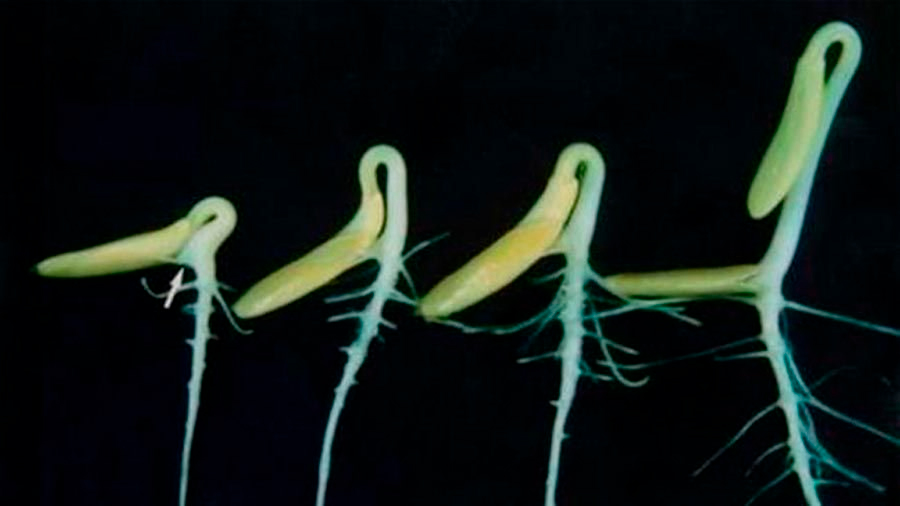Una investigación postula que las plantas se guían por el sonido en pos del agua