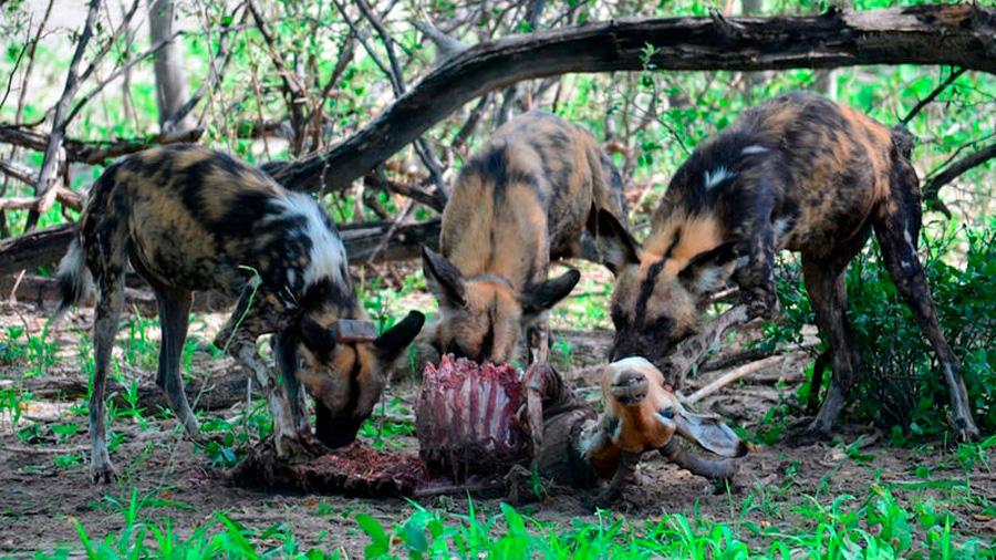 Los perros votan para decidir si salen de caza