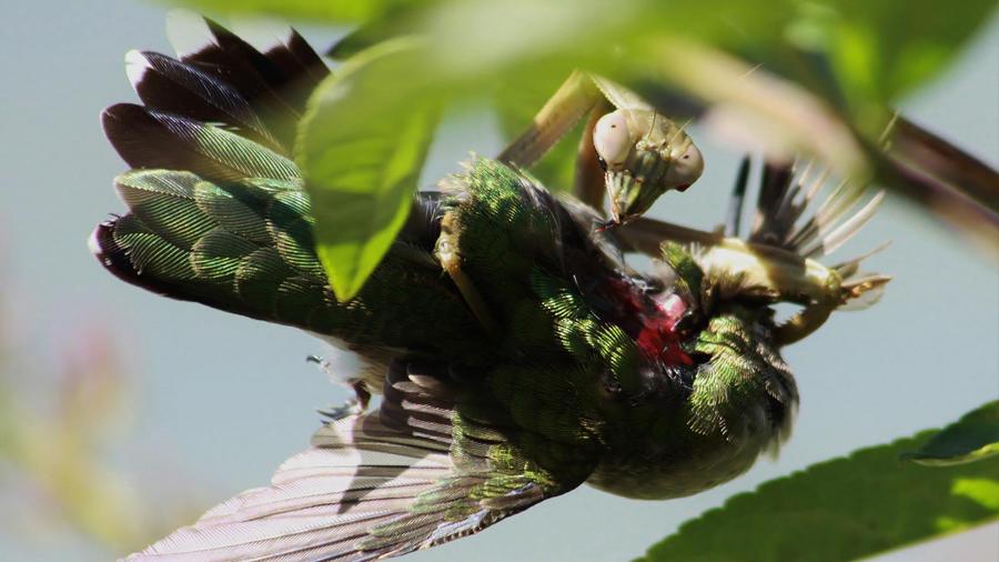 La mantis religiosa captura pájaros pequeños y los devora