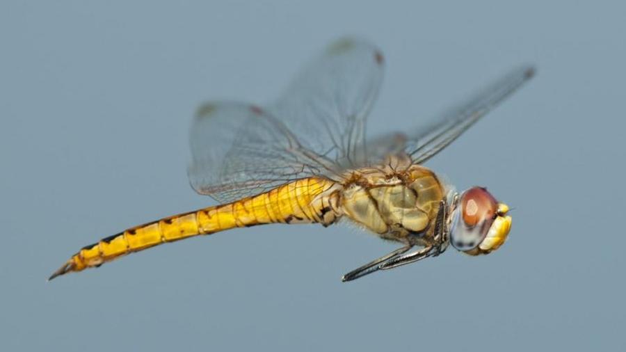 Una libélula es el insecto que vuela más lejos