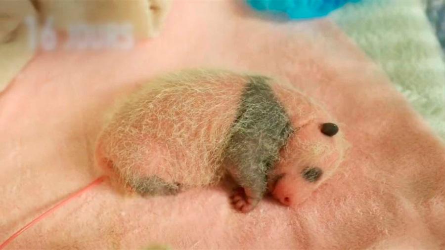 Los treinta primeros días de un panda, en apenas un minuto