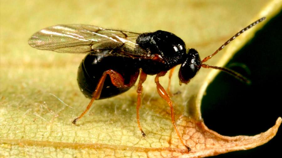 Halladas tres nuevas avispas en Centroamérica