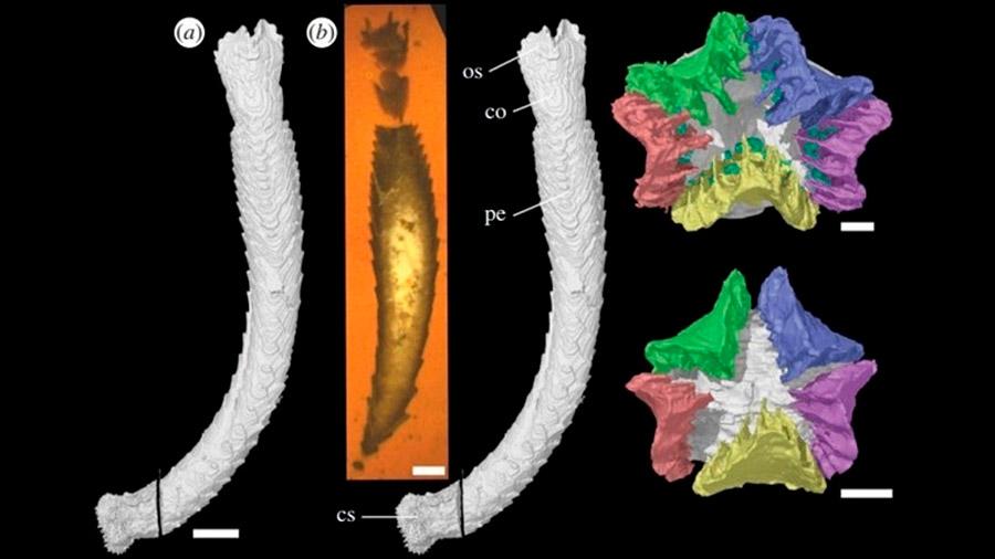 Restos de un equinodermo de 430 millones de años con tubos preservados