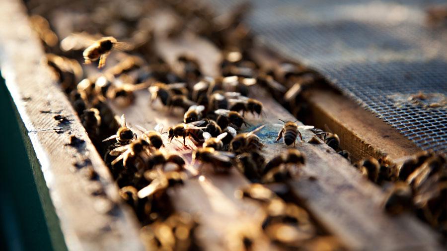 Una máquina aprende a traducir el mensaje que se oculta en los bailes de las abejas