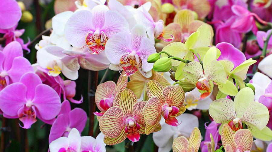 Científicos hallan cómo el genoma de una orquídea de hace 66 millones de años devino en 25 mil especies
