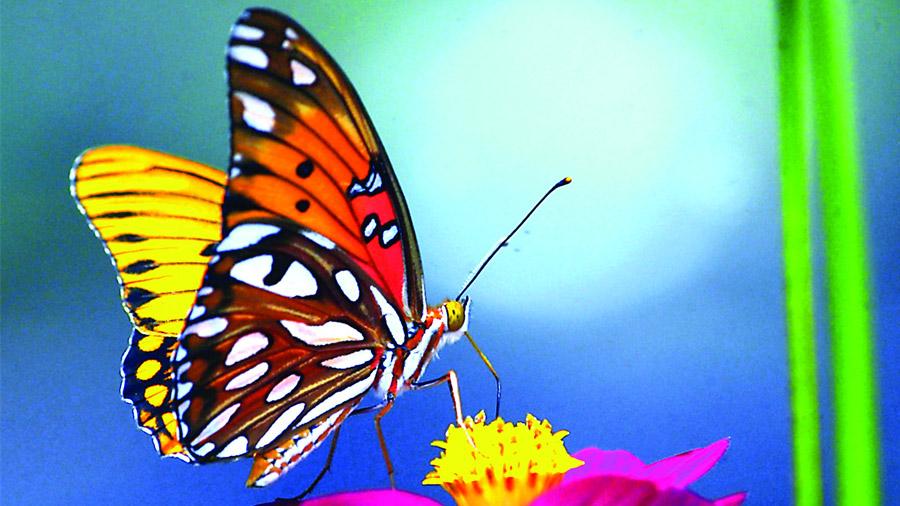 Un solo gen es clave para determinar el patrón de color en las mariposas