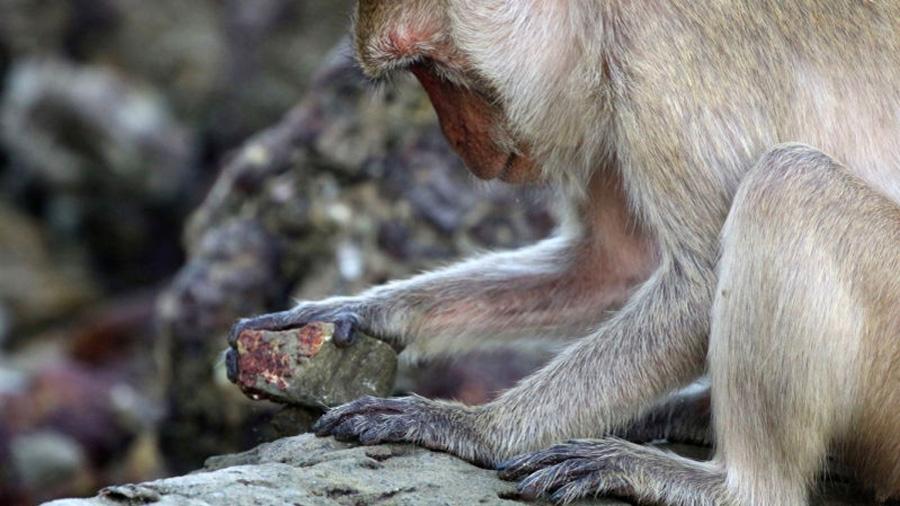 Un grupo de monos que ha aprendido a usar utensilios está diezmando los moluscos de la playa en la que viven