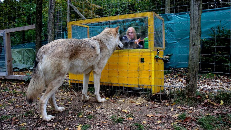 Los lobos entienden las relaciones de causa-efecto mejor que los perros
