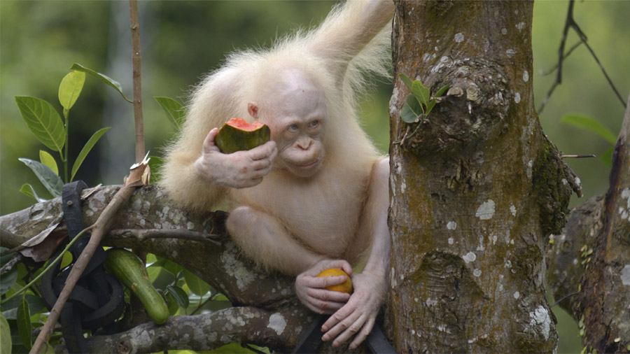 Alba, la orangutana albina rescatada en Indonesia, vivirá en un área de selva protegida