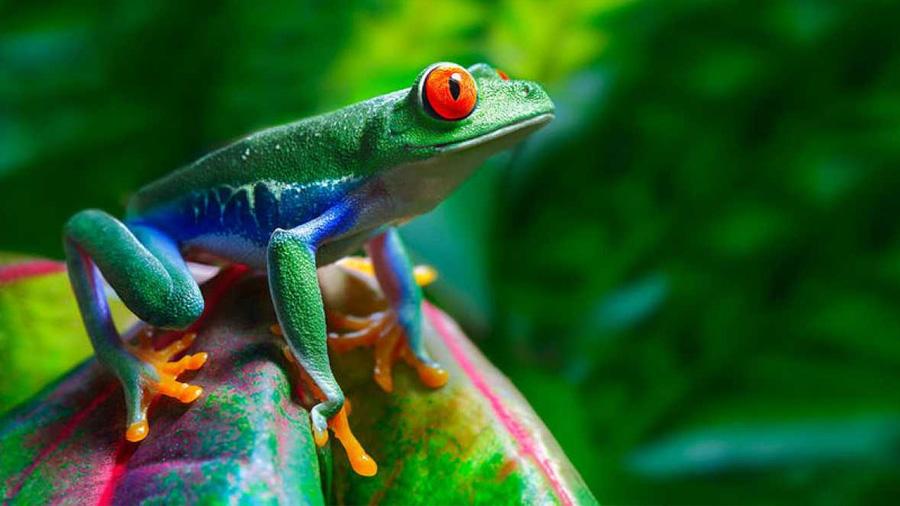 Los machos de 178 especies de ranas cambian de color mientras se aparean