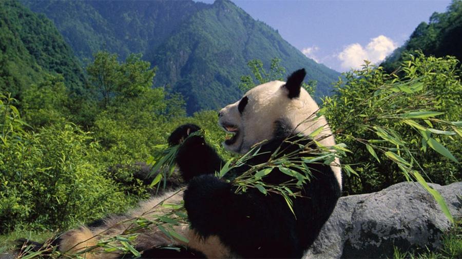 El hábitat del panda, peor que cuando se declaró en riesgo de extinción